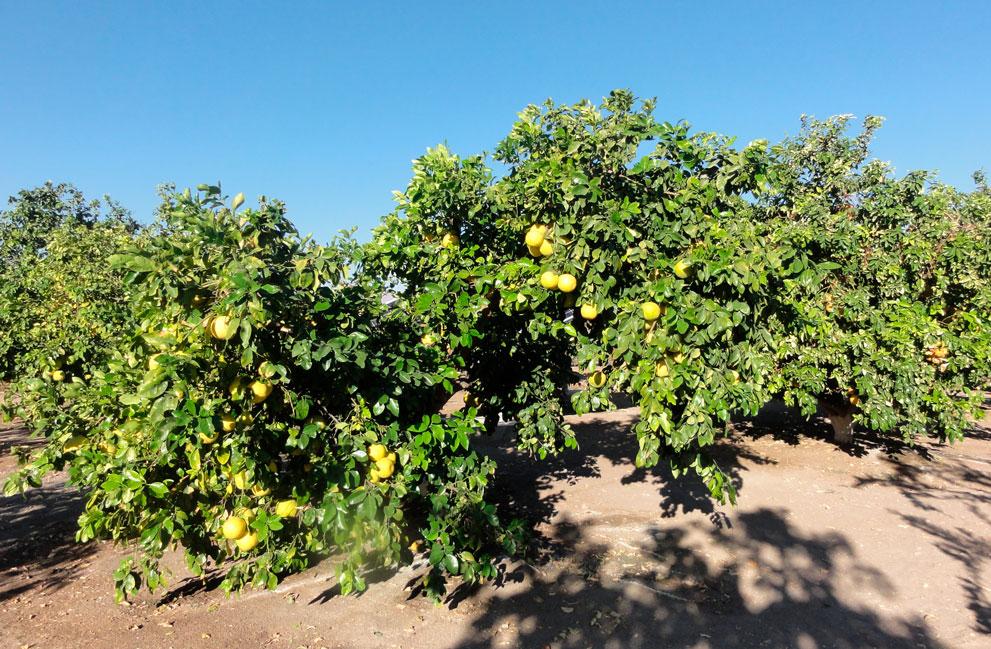 galeria-limon-de-pica-4
