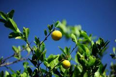 limon-sello