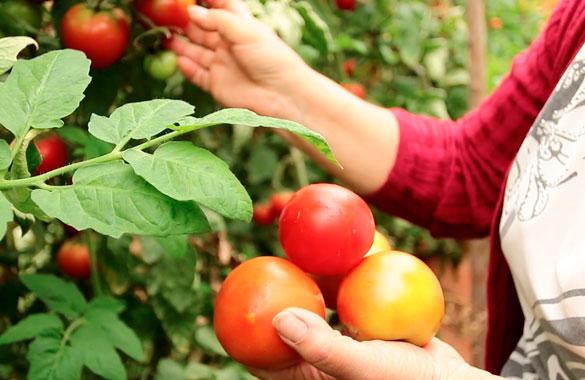 Tomate-limache